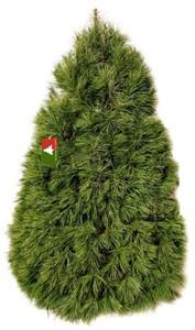 Christmas Tree Company Premium Fresh Cut White Pine Tree