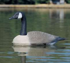 Realistic Floating Canada Goose