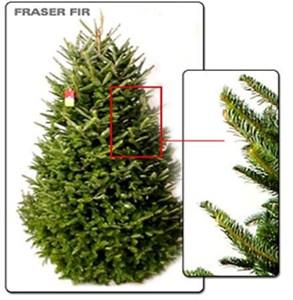 Live Fraser Fir Christmas Tree