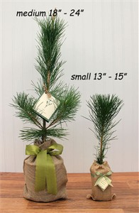 Seeds of Life Japanese Black Pine Tree Gift Plant